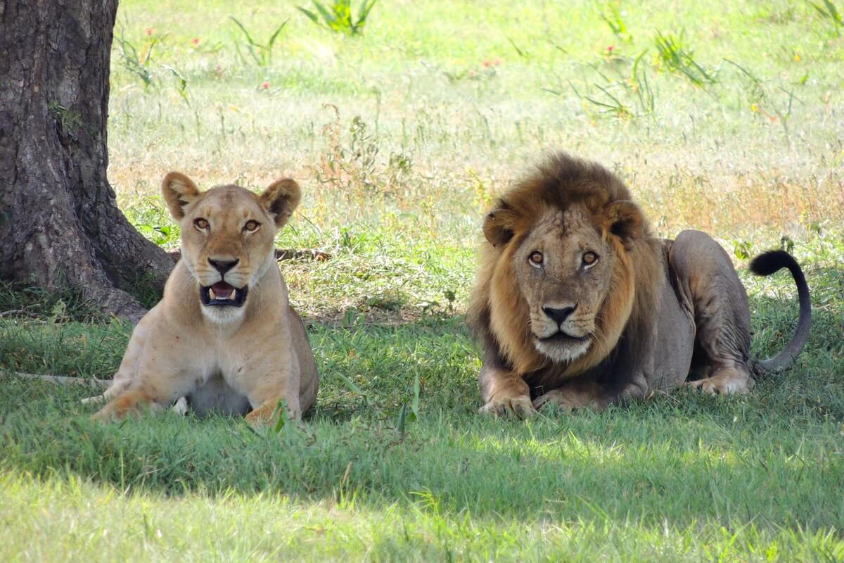 5 Great African Countries To See Lions In
